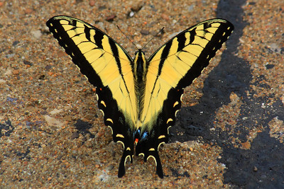 Eastern Tiger Swallowtail! - Male