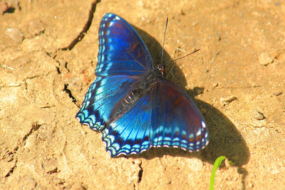 A Red-spotted Purple Admiral! (Limenitis arthemis) - On the Parched Earth!