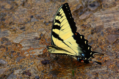 Eastern Tiger Swallowtail - The Butterfly is Thirsty?