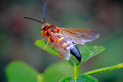 I'm Just a Bee (okay a Cicada Killer Wasp) on a Rose Bush!