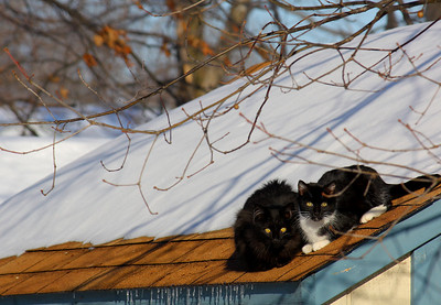 On a Warm Roof!  A pair of Feral Cats enjoying a warm spot and sun on the roof of a shed in Lorain, OH.