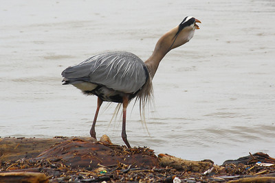 Great Blue Heron (Ardea herodias) - Lunch with a 'Big Gulp'!   © 2011 Paul L. Csizmadia All Rights Reserved No Use Allowed without Permission