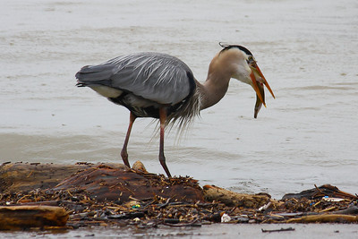 Great Blue Heron (Ardea herodias) - Lunch in One Big Gulp!   © 2011 Paul L. Csizmadia All Rights Reserved No Use Allowed without Permission