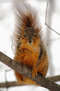 Fox Squirrel (Sciurus niger) - Striking a Pose!