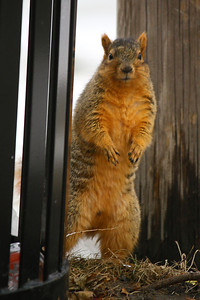 Walking Tall! - Well for a Squirrel at Least