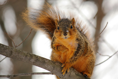 Fox Squirrel (Sciurus niger) - Out on a Limb!