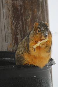 McSquirrel!  Chompin on a Fry from Micky D's