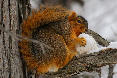 Fox Squirrel (Sciurus niger) - Armed and Ready - With Snowball!