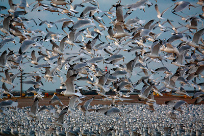The Gulls of December!