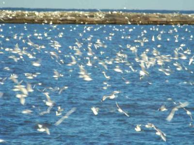 December Seagulls!