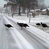 Turkey Crossing! in  Lorain