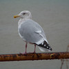 Gull on a Rail!  Waiting for A Ride?