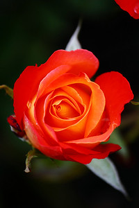 A Rose is a Rose!