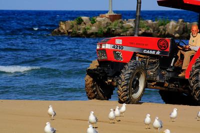 Herding! The Gulls!