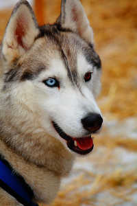 A Husky Named 'Krighten'!