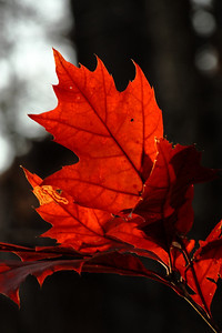 A Maple's Color! ------               © 2009 Paul L. Csizmadia / Spec3 Photography  All Rights Reserved  No Use Allowed without Permission
