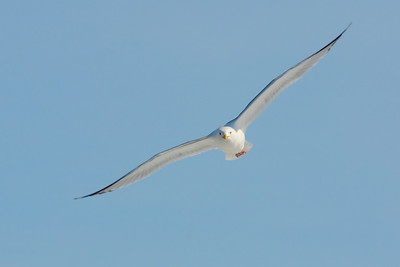 Larus delawarensis - With the Form of Flight!