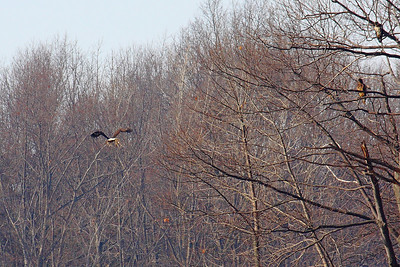 Spring is in the Air - As a 'Bald Eagle' Gathers Stuff for a Nest!