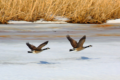 Takin' Flight - 'Old Woman Creek Estuary'