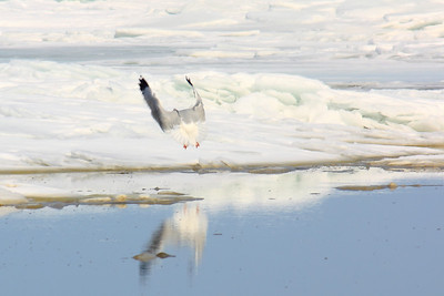 Larus delawarensis - Landing with Flaps and Reverse Thrust!