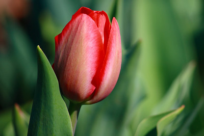 Tulip in Red!