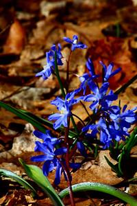Woodland Blue!