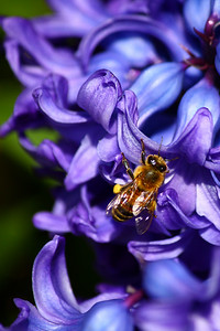 A Bee and a Hyacinth!
