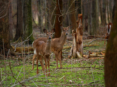 While on a Hike!  A herd of Whitetail Deer along the 'Bridgeway Trail' in the Black River Reservation of the Lorain County Metroparks.  There were about 8 deer in the herd.
