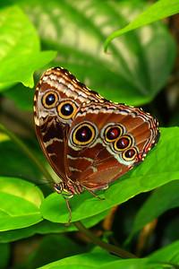 A 'Buckeye' (Junonia coenia)