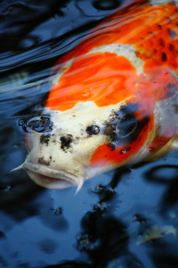 Just a 'Koi' in the Pond!