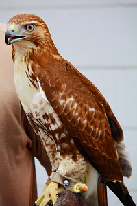 Ohio Scottish Games 2010 - 'Zephyr' a Red-tailed Hawk!