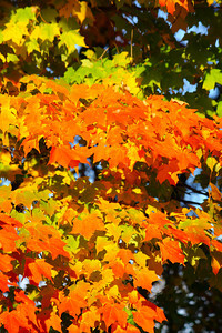 Shades of Maple Brilliance - In the Fall!  © 2010 Paul L. Csizmadia  All Rights Reserved  No Use Allowed without Permission