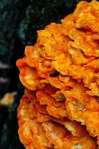 Laetiporus sulphureus (Chicken Mushroom) - With a Brilliance of Orange!  © 2010 Paul L. Csizmadia  All Rights Reserved  No Use Allowed without Permission