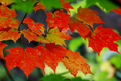 Maple's Autumn Blend!  © 2010 Paul L. Csizmadia  All Rights Reserved  No Use Allowed without Permission