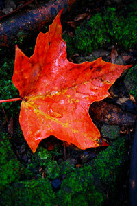 Fallen Maple Leaf - On the Woodland Floor!  © 2010 Paul L. Csizmadia  All Rights Reserved  No Use Allowed without Permission