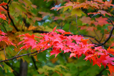 Maple Leaves - A Fiery Fall Color!  © 2010 Paul L. Csizmadia  All Rights Reserved  No Use Allowed without Permission