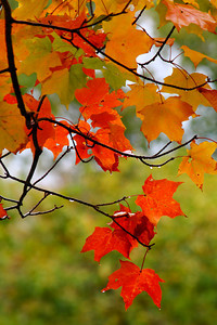 Beneath a Canopy of Maple Fall Color!  © 2010 Paul L. Csizmadia  All Rights Reserved  No Use Allowed without Permission