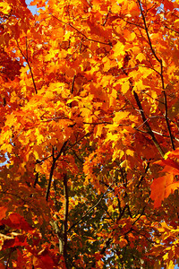 Brilliance of Color - Maple Leaves in the Fall!  © 2010 Paul L. Csizmadia  All Rights Reserved  No Use Allowed without Permission