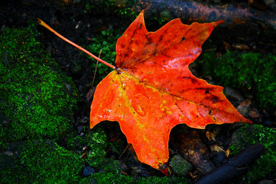 Fallen Leaf - Maple Color on the Forest Floor!  © 2010 Paul L. Csizmadia  All Rights Reserved  No Use Allowed without Permission