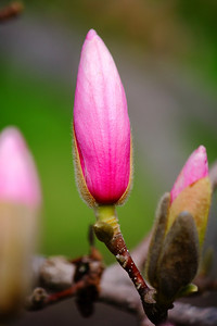 A Magnolia Bud - About to Bloom!