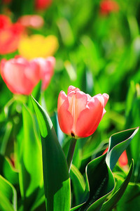 With a Bokeh of Tulip!