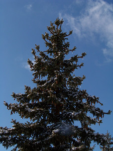 Towering Spruce!