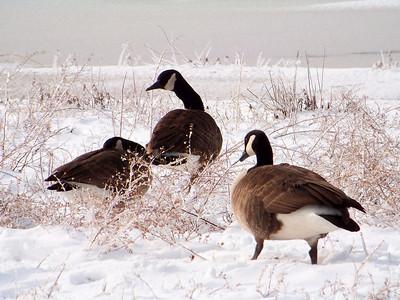 Snow Geese!
