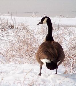 Snow Goose!