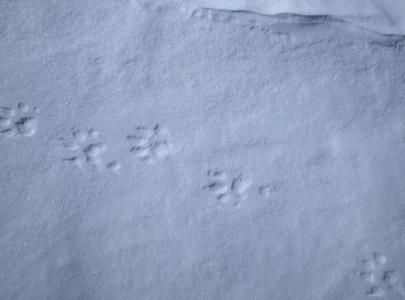 Wolverine tracks