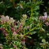 Phyllocladus alpinus - male cones