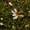 Leucopogon fraseri