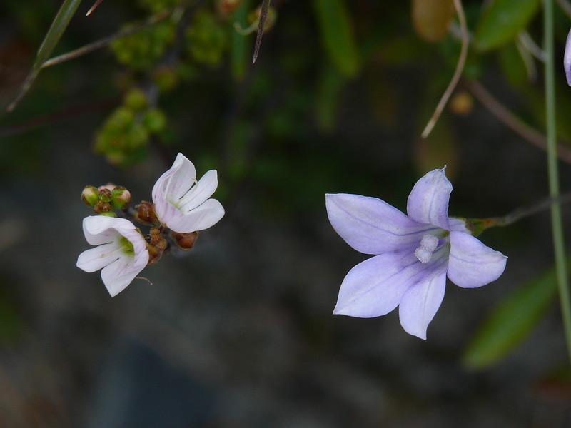 Parahebe decora & Wahlenbergia albomarginata