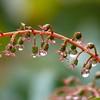 Coriaria plumosa
