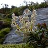 Gaultheria crassa